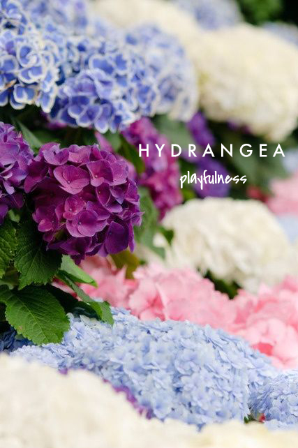 hydrangea means playfulness | talking flowers - A Valentine's Day Guide to Flower Meaning