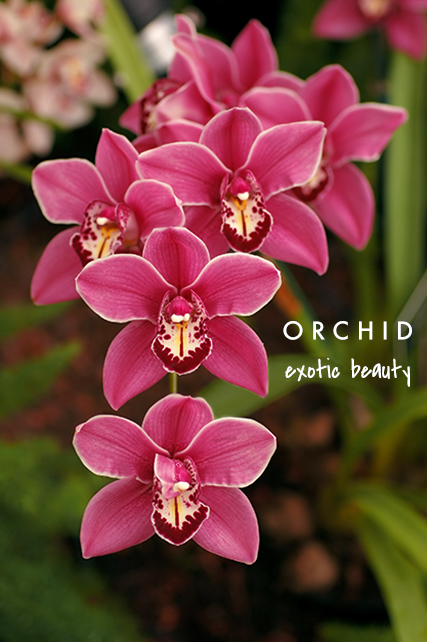 orchid means exotic beauty | talking flowers - A Valentine's Day Guide to Flower Meaning